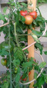 Auch bei den Früchten darf es chic aussehen: Tomatenhalter aus Robinienholz mit spiralig gefädeltem Manilarohr